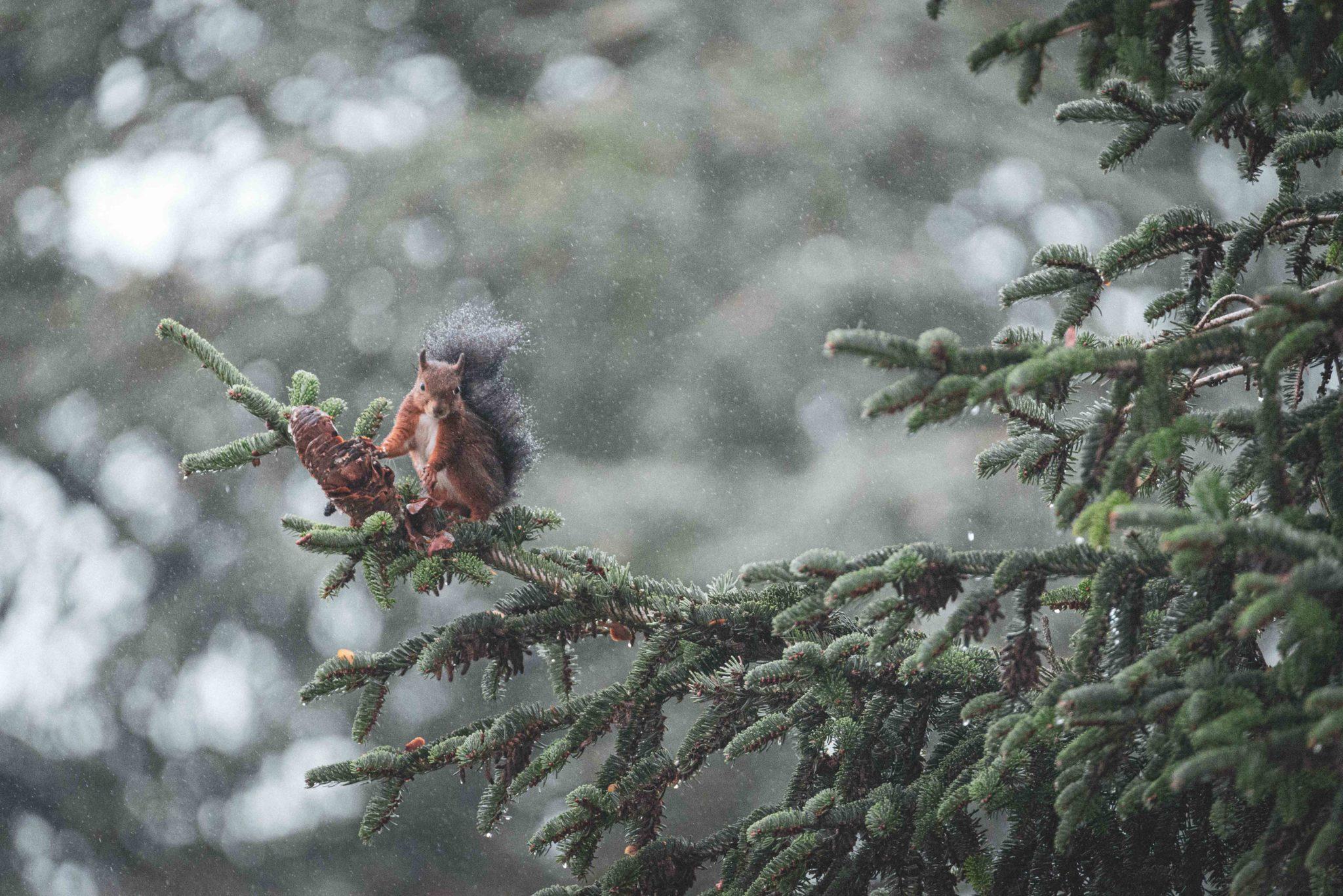 Eichhörnchen im Regen auf Tanne